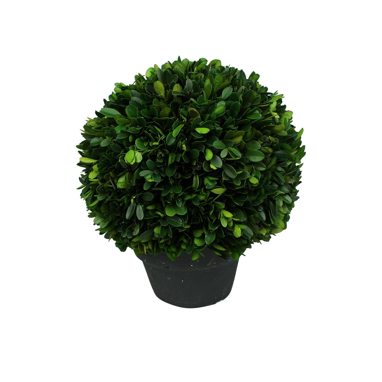 Planta Conservata Buxus In Ghiveci 30 Cm