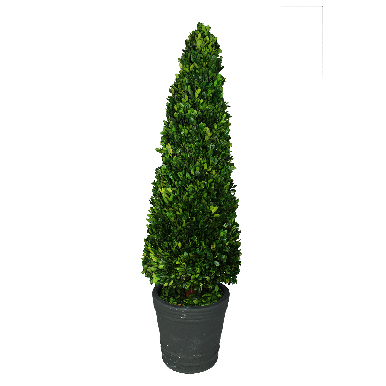 Planta Conservata Buxus Alungit In Ghiveci Din Cer