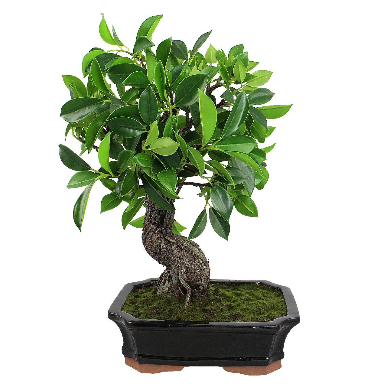 Planta Artificiala Bonsai In Ghiveci 38 Cm