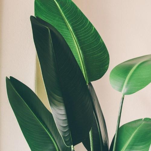 Planta decorativa Paradise Bird 95x155 cm chicville 2021